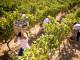 Vendemmia 2019: si preannuncia una grande annata per i vini della denominazione Vino Chianti DOCG