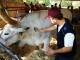 Dal 29 settembre al 1° ottobre torna l'Antica Fiera dell'Antella con l'esposizione animali della fattoria