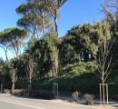 Al via la piantagione di nuovi tigli in viale Galilei