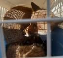 Liberata sulle colline la volpe che ha dormito nella chiesa dell'ospedale di Santa Maria Nuova