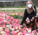 Al parco del Mensola sbocciati 50mila tulipani